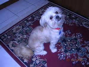 furever shih tzu the shih poo shih tzupoodle mix breeds picture