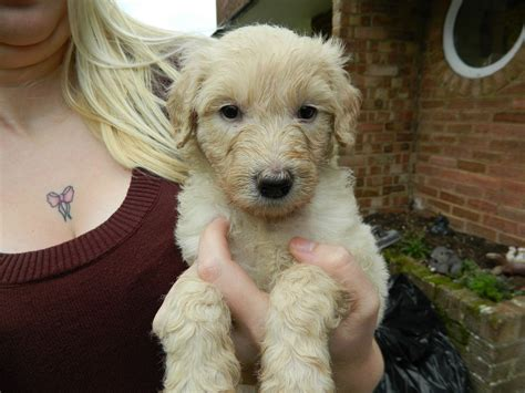 labradoodle puppies for sale mn home dogs for sale labradoodle dogs for sale f1b chocolate breeds picture