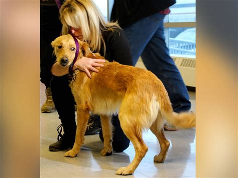 golden retriever rescue toronto charity flies stray golden retrievers from turkey to canada to find them homes abc news