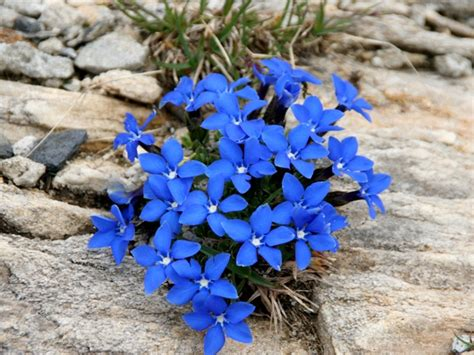 fiore di genziana genziana storia e linguaggio dei fiori il giardino