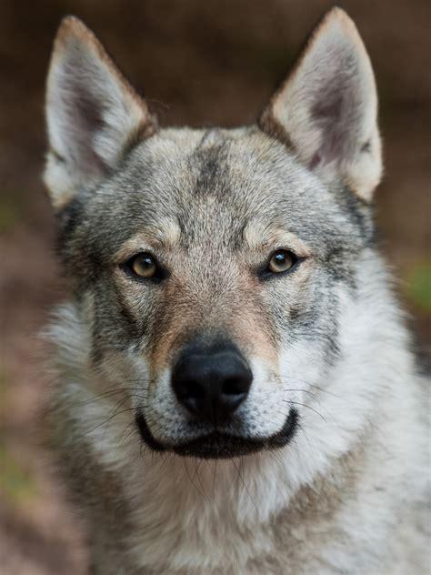 puppy wolf czechoslovakian vlcak breed guide learn about the czechoslovakian vlcak