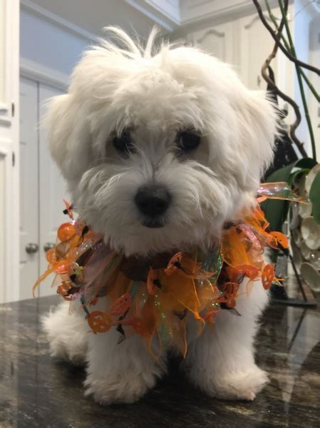 brister family terriers bichon frise scottish terrier photo gallery brister
