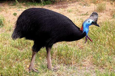 southern cassowary facts anatomy diet habitat