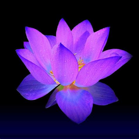 lotus flower best 25 lotus flower pictures ideas on lotus