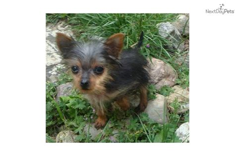 yorkie oregon terrier yorkie for sale for 3 000 near roseburg oregon 472b3789 9901