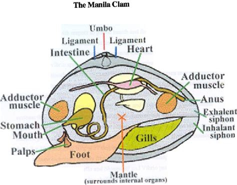 mollusk diagram clam diagram phylum mollusca clams