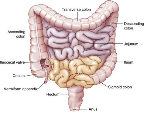 second section of small intestine digestive system basicmedical key