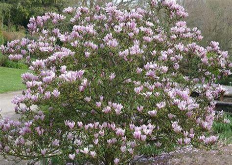 Magnolia George Henry Kern 3714 by Ogrodkroton Pl Magnolia George Henry Kern