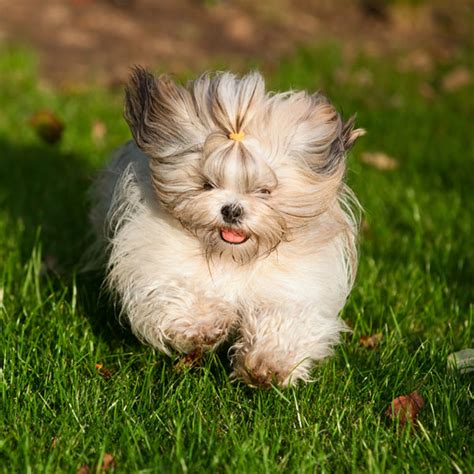 shih tzu respiratory problems get to the shih tzu of tibet