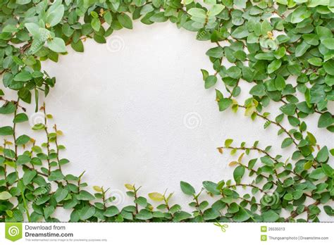 creepers fiori green creeper plant stock photos image 26535013