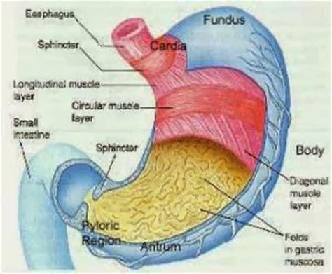 Obat Asam Lambung Islami fungsi dari organ lambung solusi kesehatan lambung