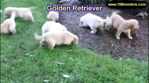 golden retriever puppies in alabama golden retriever puppies dogs for sale in birmingham alabama al 19breeders
