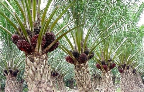 jenis tanah untuk menanam kelapa sawit tips budidaya ilmubudidaya com