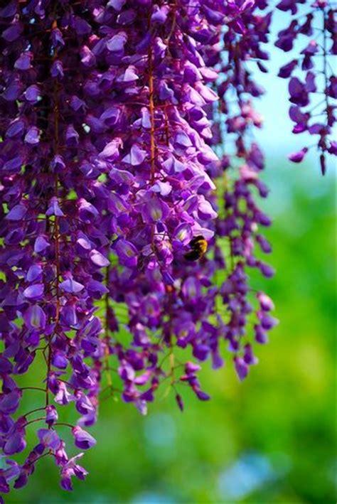 wisteria color 1000 images about wisteria laburnum on