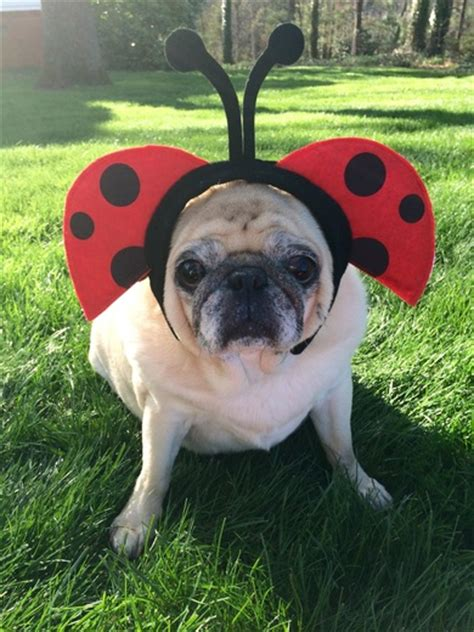 puddin the pug community has sprung flowers a puggerfly and a ladypug puddin the pug