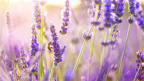 tapete lavendel lavender flowers hd flowers 4k wallpapers images