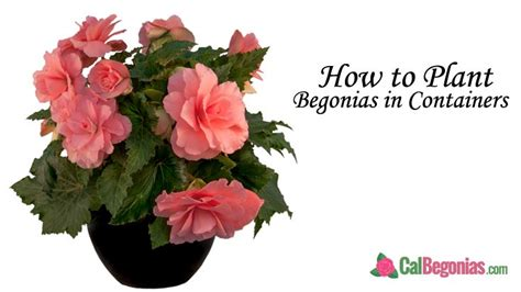 plant begonias  containers plants begonia