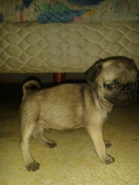perro pug mini perros pug de 1 mes 5 000 00 en mercado libre