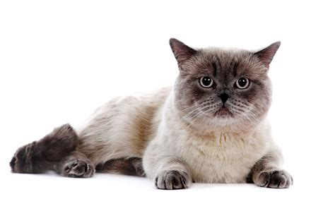 British Shorthair   Colourpoint   Cats   Breed Information