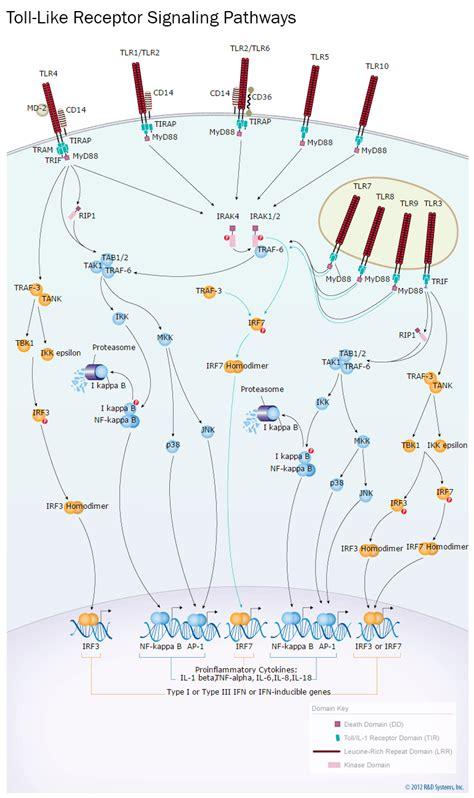 pattern recognition receptors signaling pathways toll like receptor signaling pathways r d systems