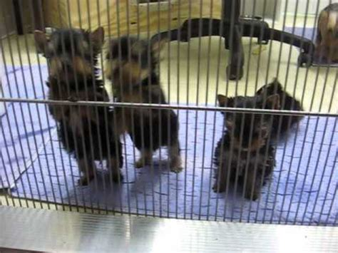 7 week yorkie puppies priceless yorkie puppy teacup puppies for sale michigan breeder tanisha