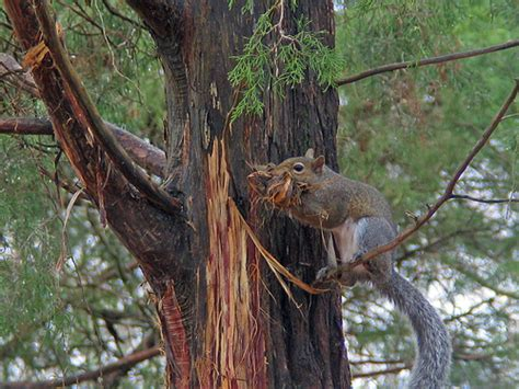 gray squirrel gathering cedar bark flickr photo sharing