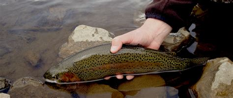 swinging wet flies for trout swinging wet flies for colorado trout