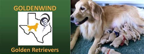 golden retriever breeders dallas tx goldenwind golden retrievers golden retriever