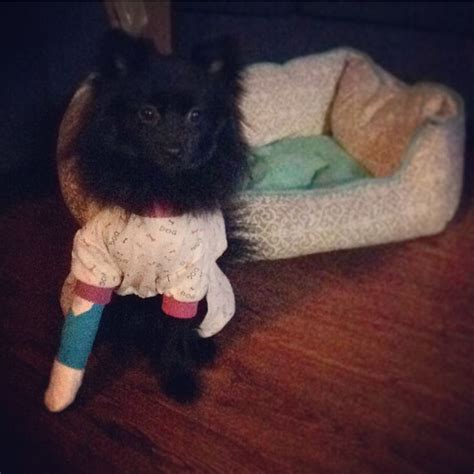 pomeranian broken leg 10 best images about pets on chihuahuas black pomeranian and puppys