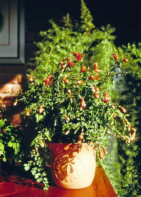 Granatapfel Garten Pflanzen by Subtropische Pflanzen Selber Ziehen Granatapfel