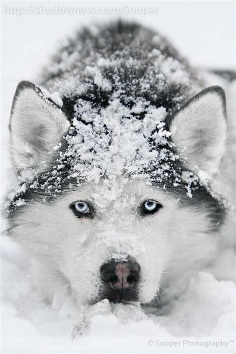 to the snow dogs dogs in the snow images search picture gallery beautiful