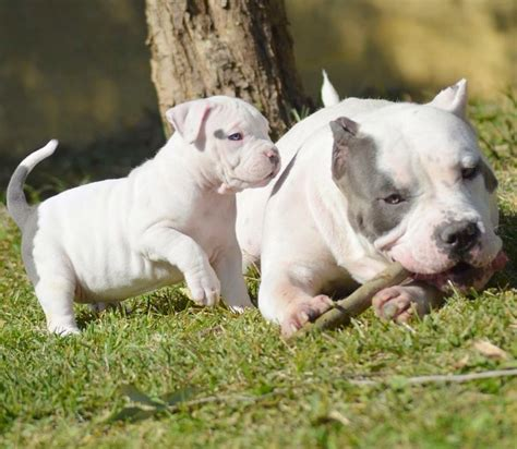 bully dogs for sale american bully xl puppies puppy for sale bully pitbull for sale www