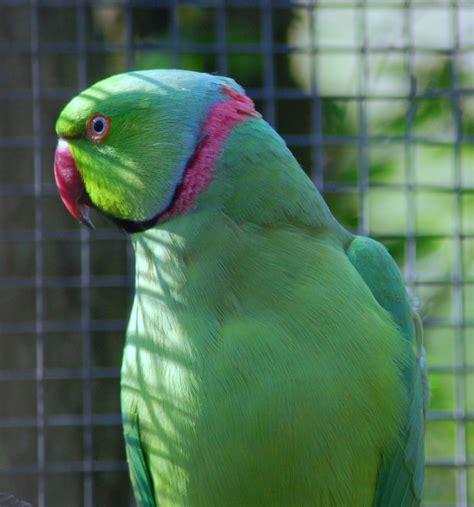 gabbie per parrocchetti dal collare grangala di pappagalli allevare il parrocchetto dal collare