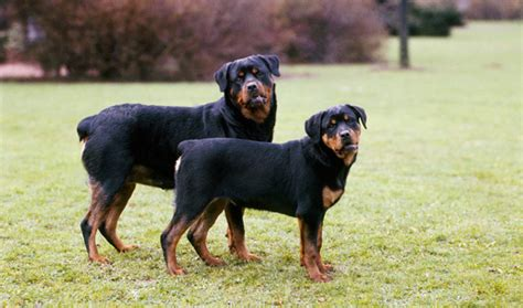 weight of rottweiler weight of rottweiler dogs in our photo