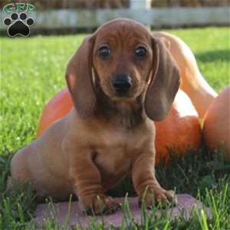 dachshund puppies pa dachshund puppies for sale greenfield puppies