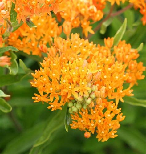 butterfly bush milkweed seeds