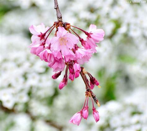 japanese cherry tree varieties shidarezakura