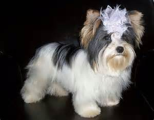 all white yorkie dharma parti yorkie terriers yorkies wallpaper