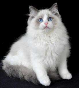 ragdoll cat breed cat pictures information ragdoll cat breed profile breed information with