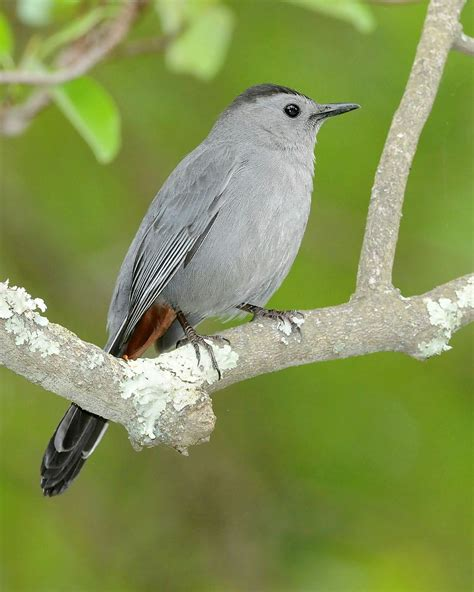 grey catbird wikipedia