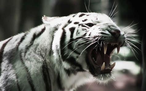 imagenes de jaguar blanco white tiger wallpapers hd wallpaper cave