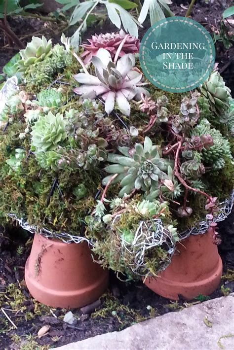how to make a succulent turtle how to make a succulent turtle topiary gardening in the shade