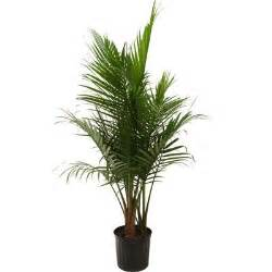 home depot indoor plants delray plants 9 1 4 in majesty palm in pot 10maj the