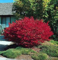 burning bush euonymus alatus shrub seeds ebay