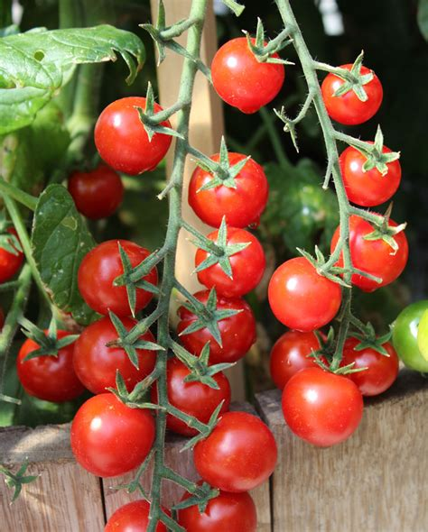 Sweet Tomato Gift Card - tomato sweet 100 f1