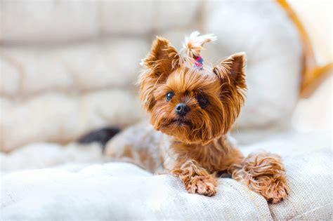 perros para vivir en un piso las 10 razas de perro que mejor se adaptan a un piso