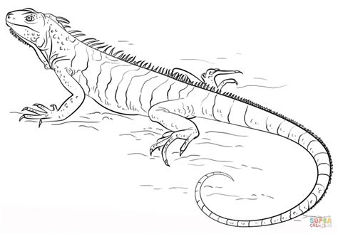 Iguana Download Coloring Page Animal Drawings Of Lizards Coloring Pages Coloring Pages Iguana Coloring Pages