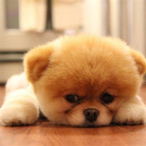 pomeranian puppies for sale in cedar rapids iowa teddy pomeranians for adoption breeds picture