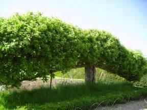 file espalier fruit tree at standen west sussex