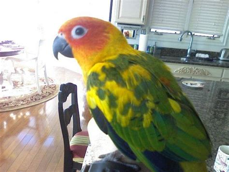 hand fed sun conure parrot babies for sale adoption from